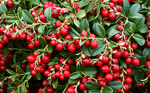Leaves-and-fruits-of-mastic