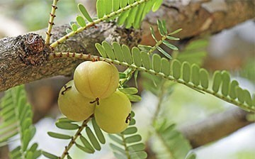 Emblica Officinalis (effective in Dehydration )